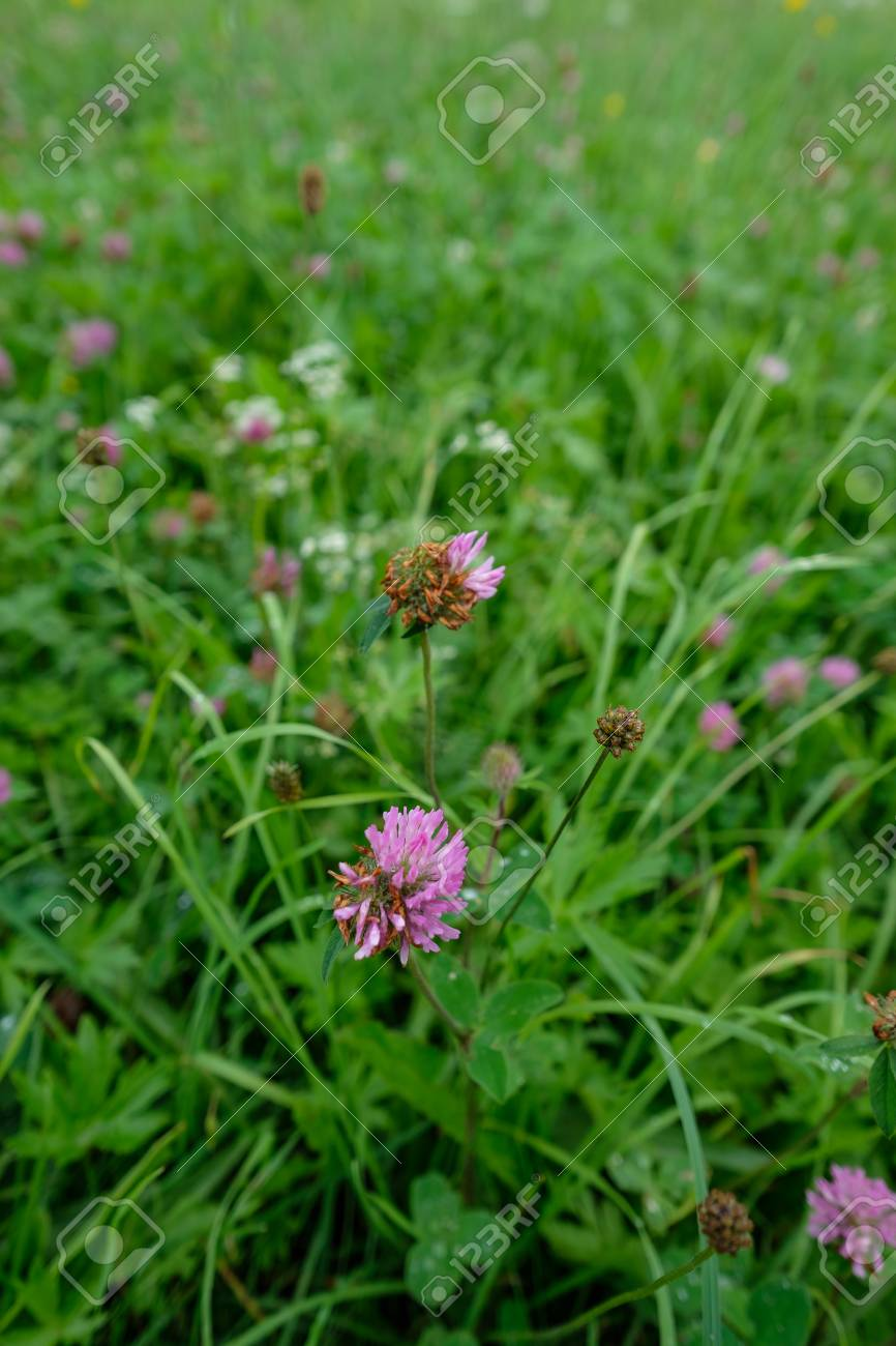 Purple Clover Flower On A Meadow In Vertical Format Stock Photo