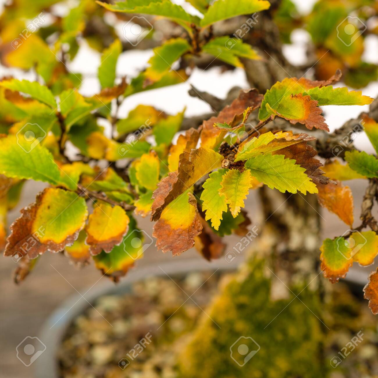 Foliage Leaves Elm Bonsai Tree Autumn Colouring With Blurred Stock Photo Picture And Royalty Free Image Image 143499135