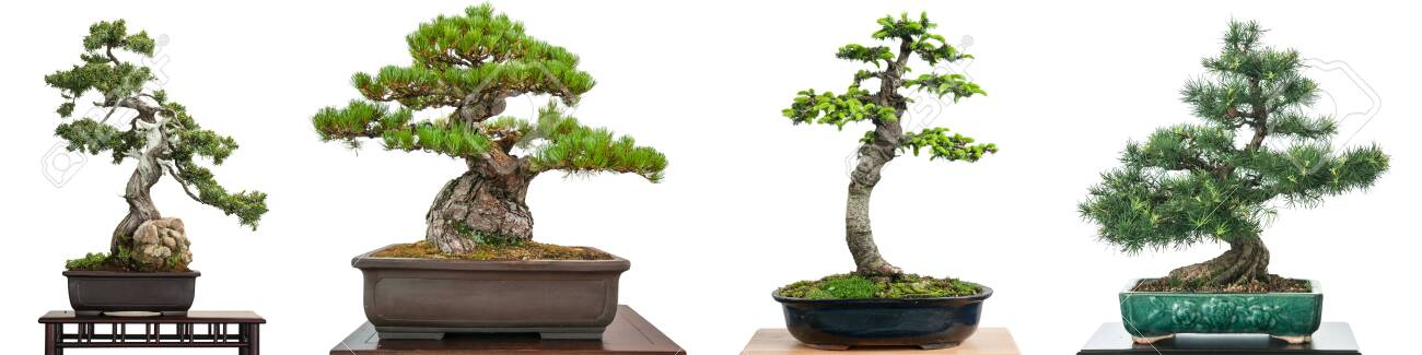 Bonsai Conifer Trees White Isolated Panorama Stock Photo Picture And Royalty Free Image Image 149806987