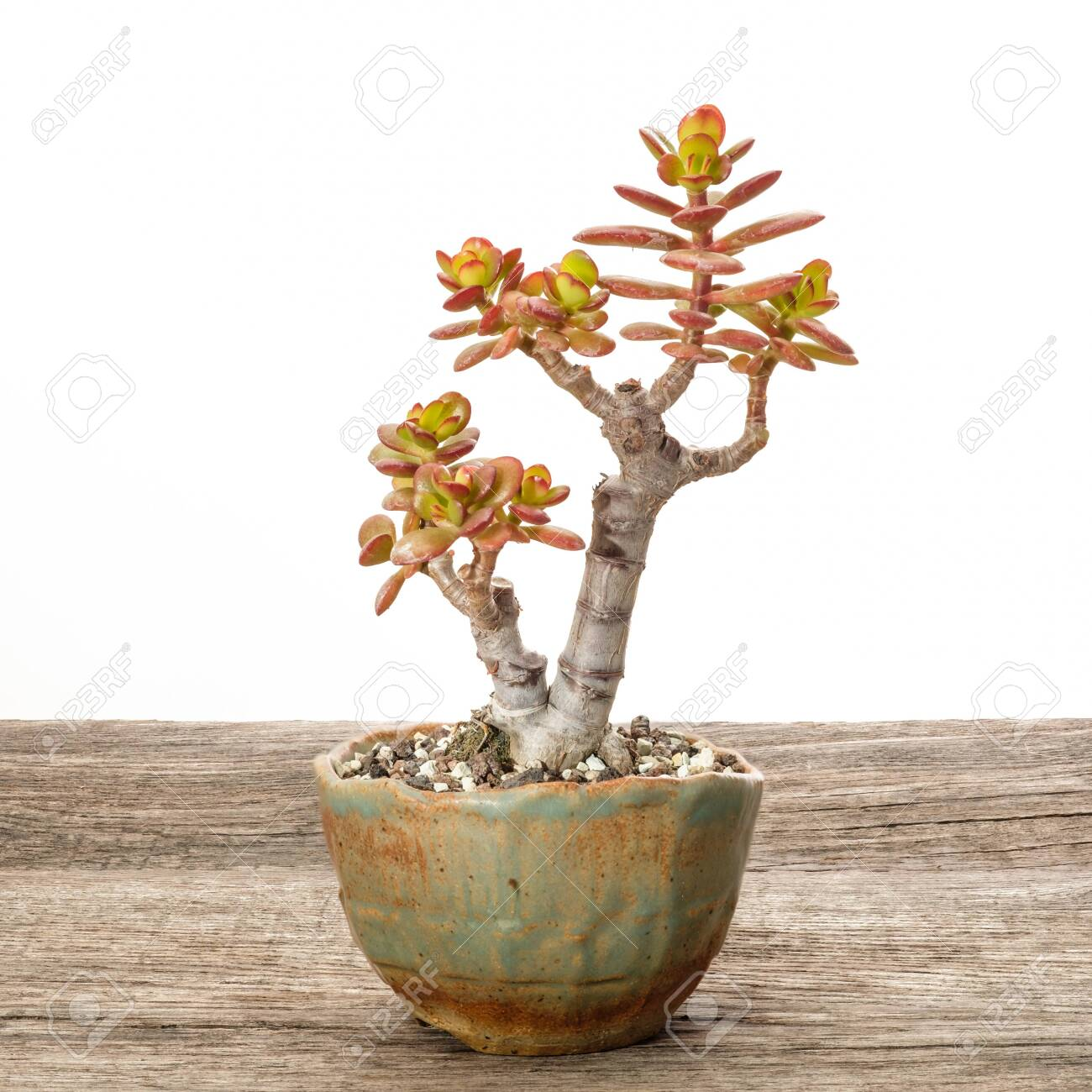 Money Bonsai Tree Crassula Ovata In A Pot On Wood Stock Photo Picture And Royalty Free Image Image 152018903