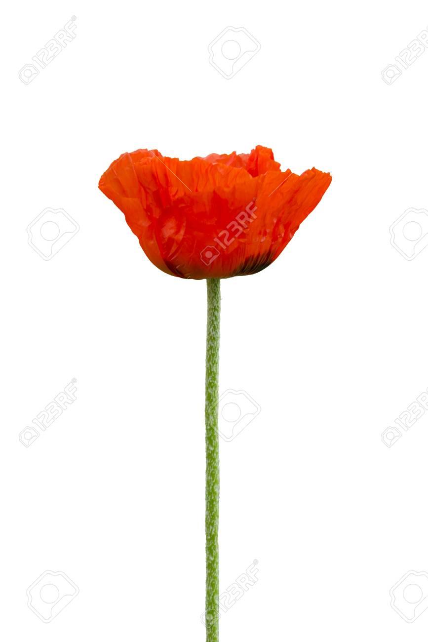 Red poppy flower royalty free stok fotoraf resimler grseller ve red poppy flower stok fotoraf 28507197 mightylinksfo