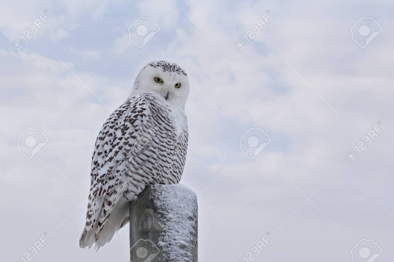 Close up of staring Snowy Owl on post against white clouds in blue sky - 158471615