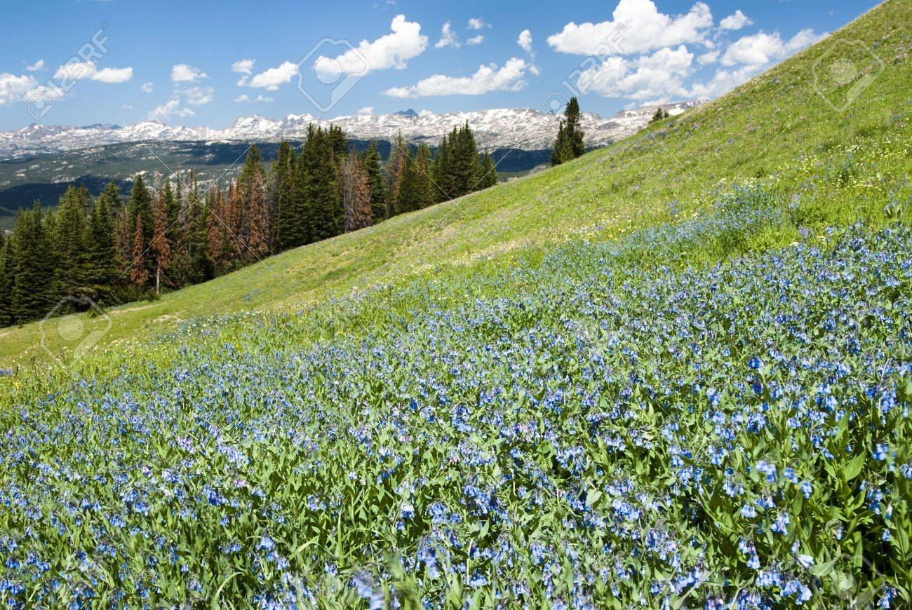 View of alpine wildflowers along the Beartooth Highway in Wyoming. Stock Photo - 5532878