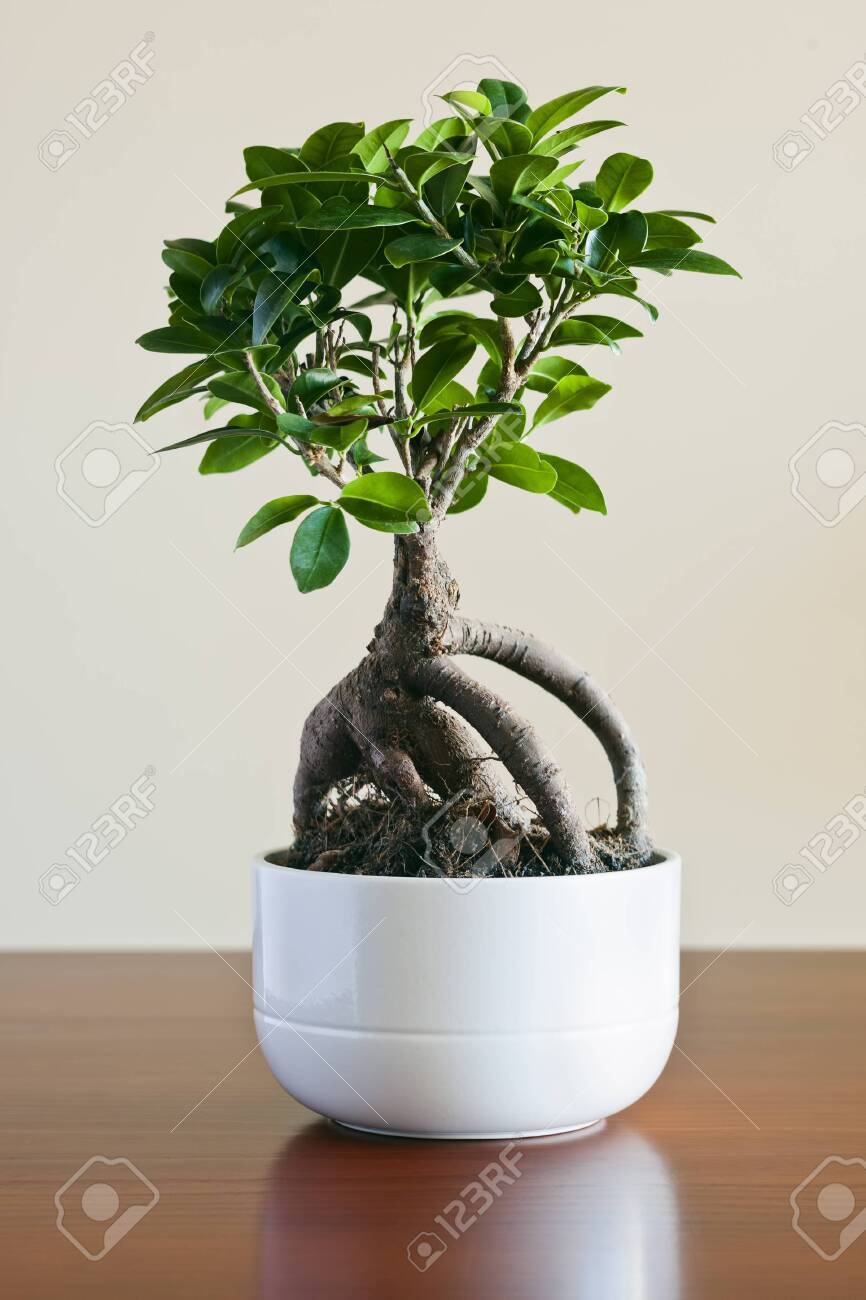 Ficus Ginseng Bonsai On White Plantpot Ficus Retusa Stock Photo Picture And Royalty Free Image Image 143740300