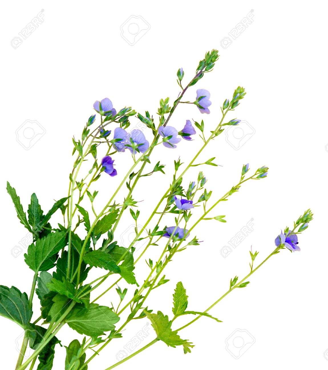A Bunch Of Small Lilac Flowers On A White Background Insulation