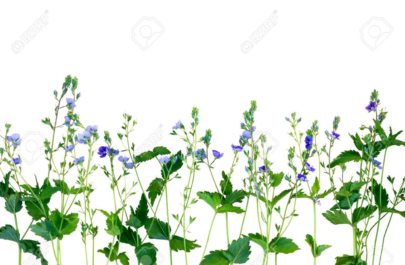 Fiori Selvatici Foto E Nomi piccoli fiori viola su sfondo bianco. isolamento. il nome del fiore è  veronica chamaedrys. fiori selvatici. i fiori sono disposti orizzontalmente  in