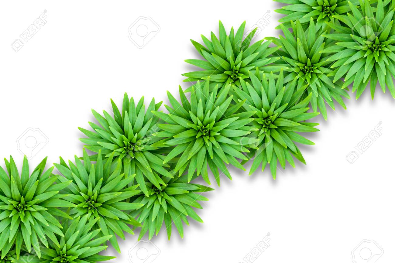 Isolated natural background of lily leaves. Template for summer decoration. Leaves are located diagonally. - 147145101