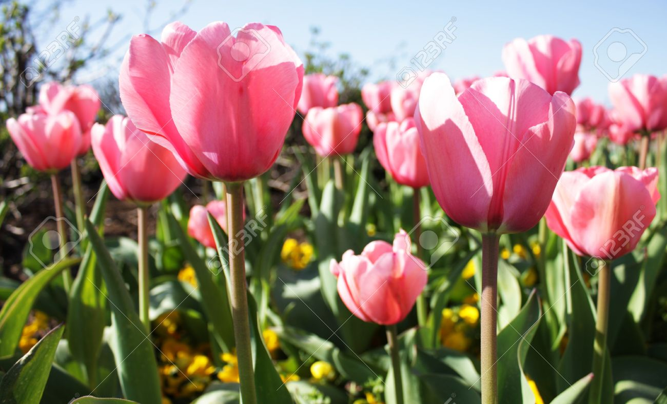 Pink tulips and yellow pansies signify the arrival of Spring Stock Photo - 9274372
