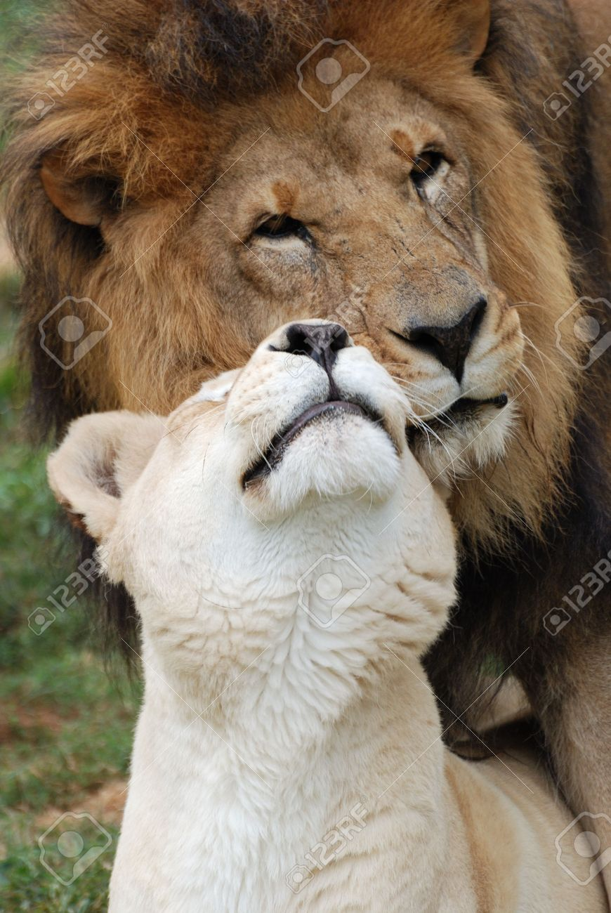 A male and female lion showing affection