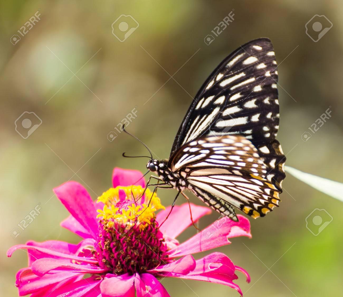 53a5b68080b9d Banque d'images - Papillon sur de belles plantes à fleurs roses pour  Papillon dans garden.Nature