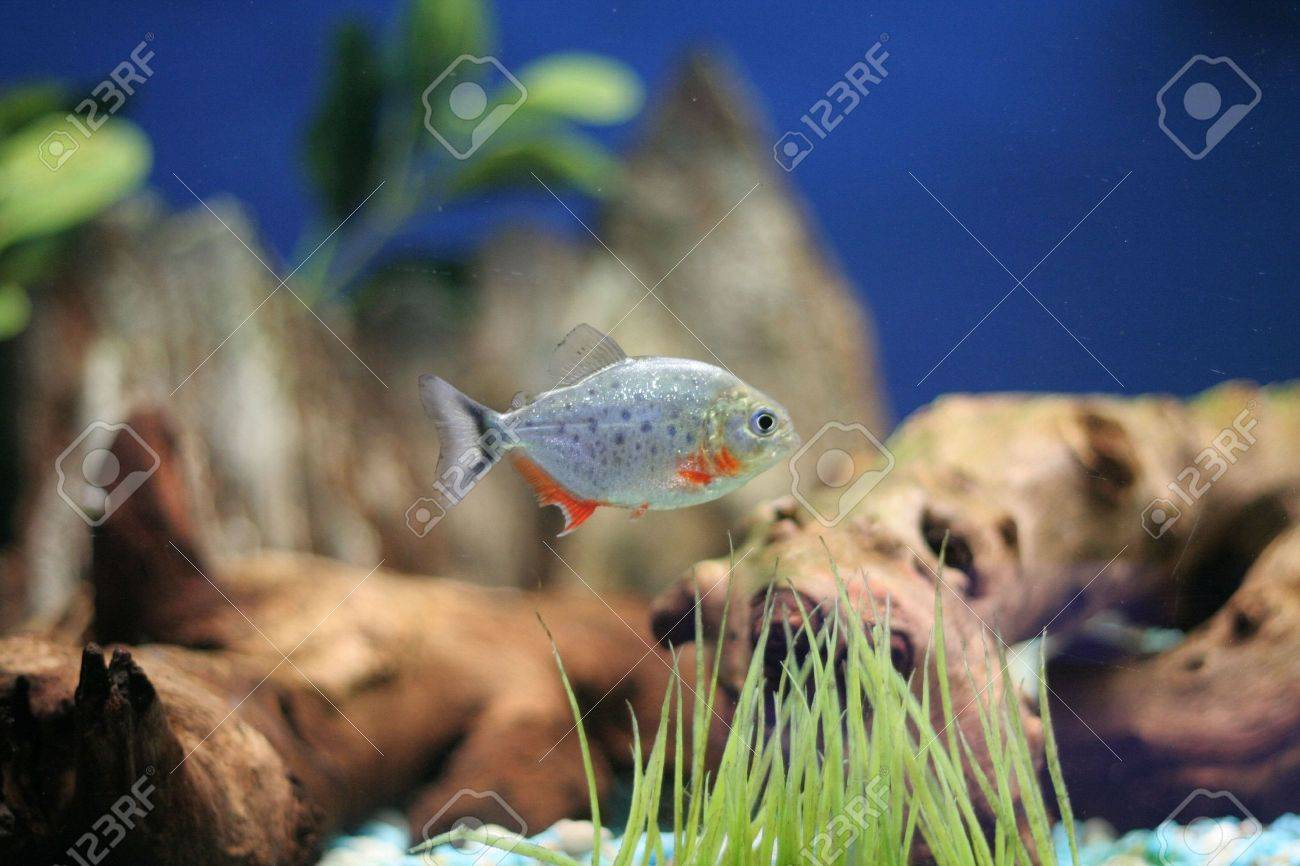 red bellied piranha Stock Photo - 375275