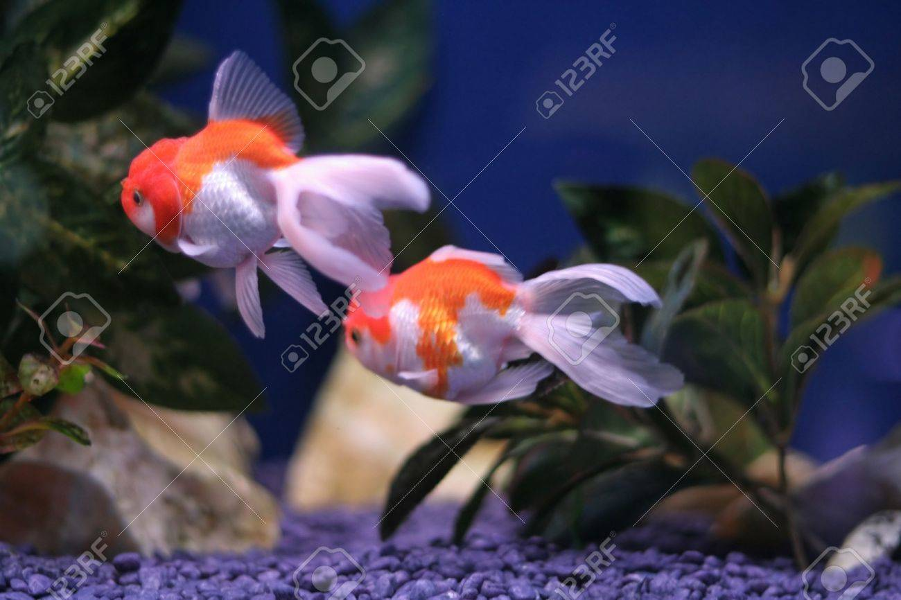 Fish in tank with goldfish - Stock Photo Goldfish In A Fish Tank