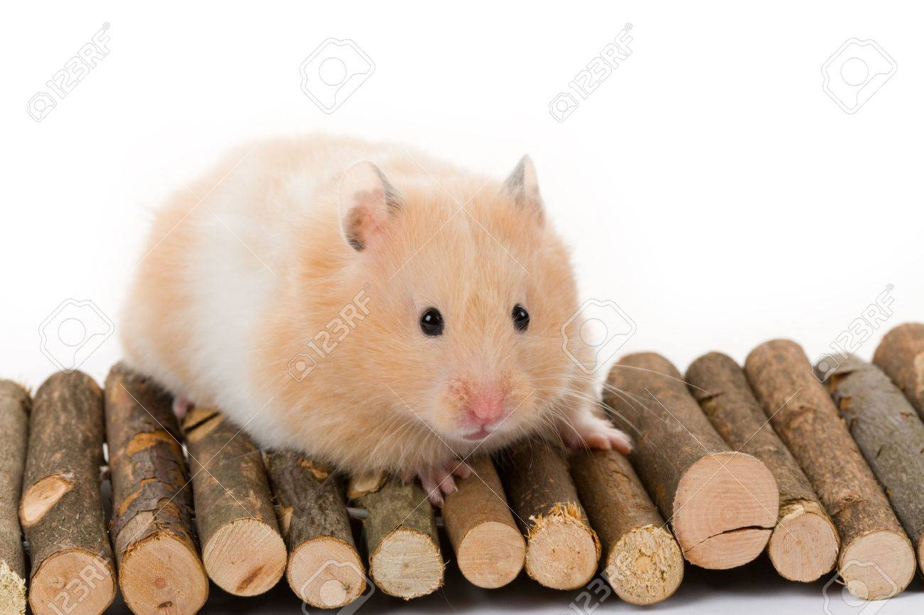 Teddy Bear Hamster with white background Stock Photo - 5726636
