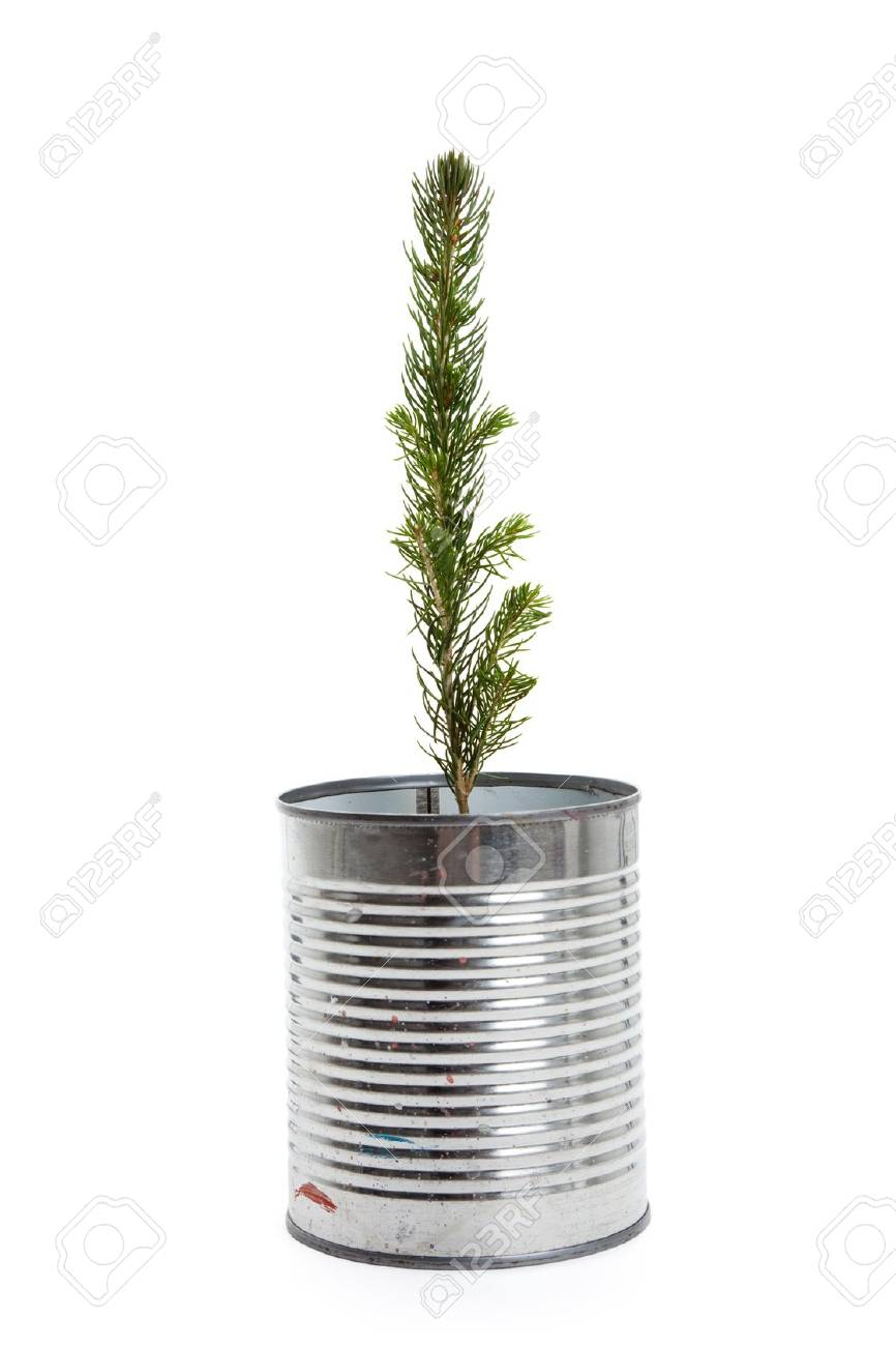 Pine Tree with white background Stock Photo - 10825032
