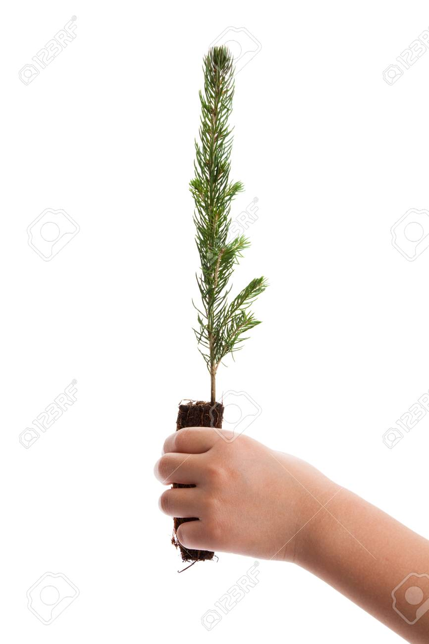 Pine Tree with white background Stock Photo - 11254578