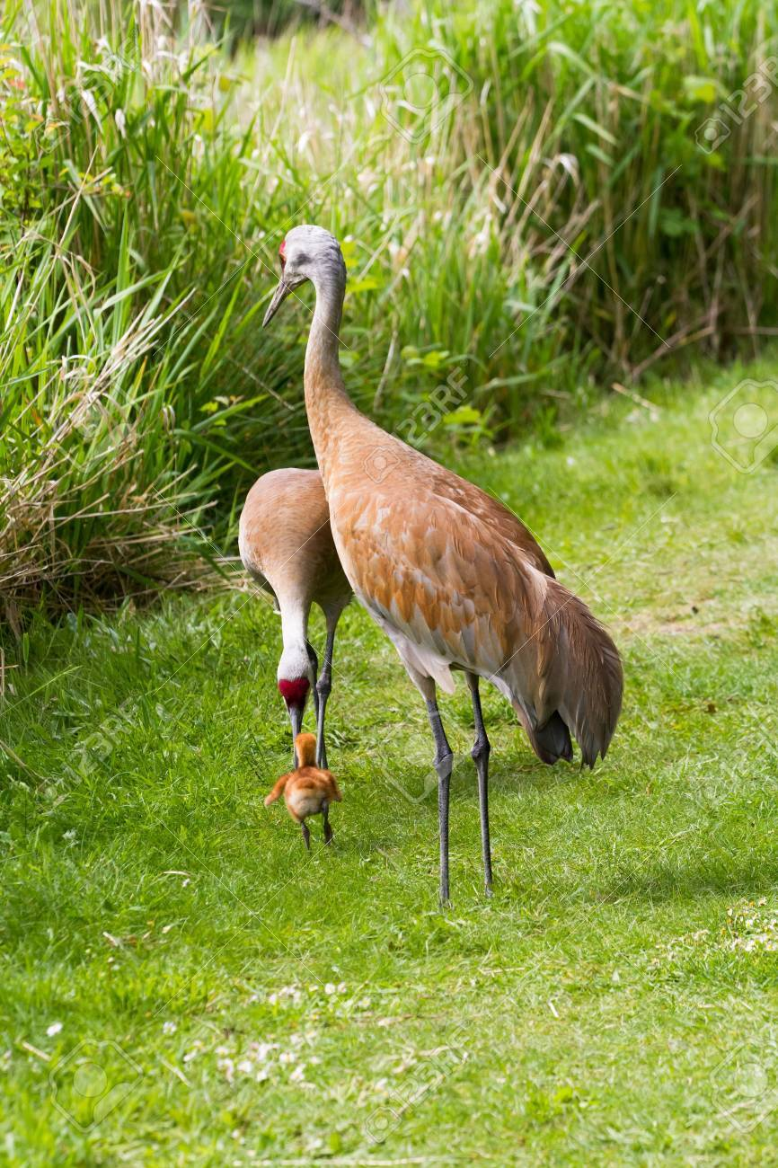Sandhill Crane And 7 Days Old Baby Chick Stock Photo