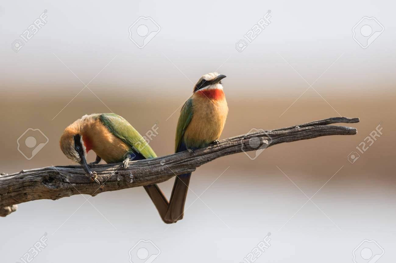 Two Bee-Eaters and one is eating a bee Stock Photo - 45306341