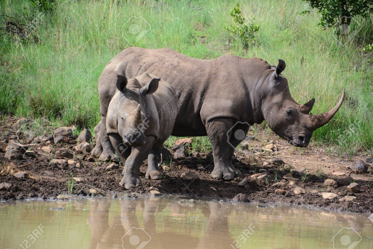 Mother and child rhinoceros drinking water at the edge of a watering hole Stock Photo - 45778326