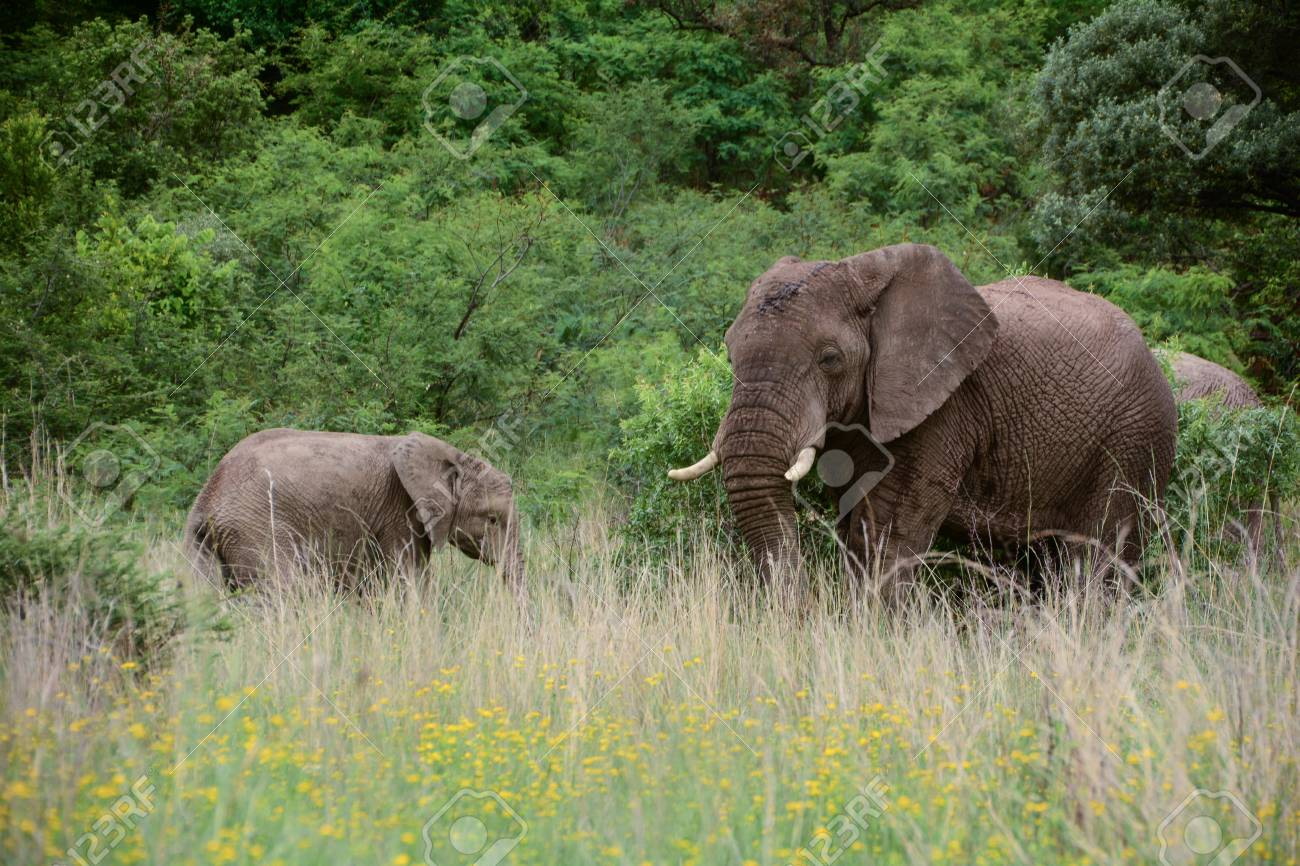 Adult elephant and a child, browsing and eating Stock Photo - 45778330