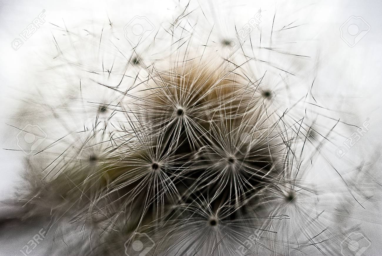 Dandelion seeds on a stem Stock Photo - 46912694