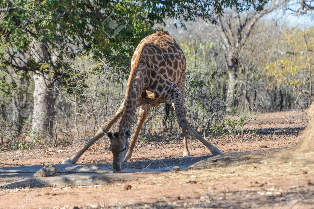 Giraffe drinking at waterholle Stock Photo - 63189779