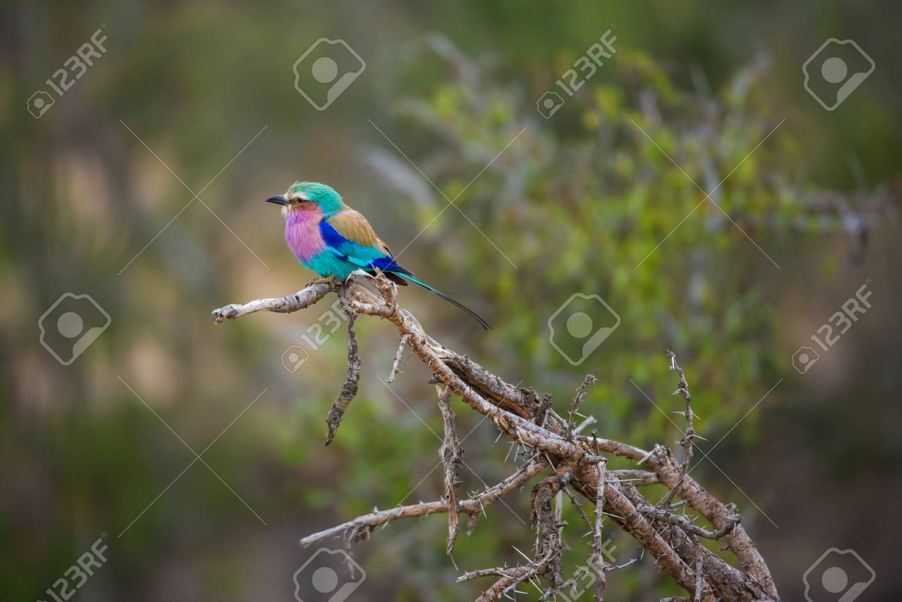 Lilac-Beasted Roller pirched on a thorny branch Stock Photo - 63189777