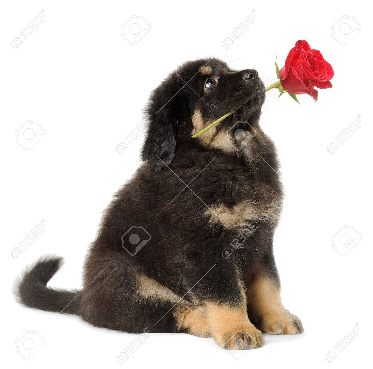 Puppy dog holding red rose in its mouth, looking up, isolated on white Stock Photo - 7717368