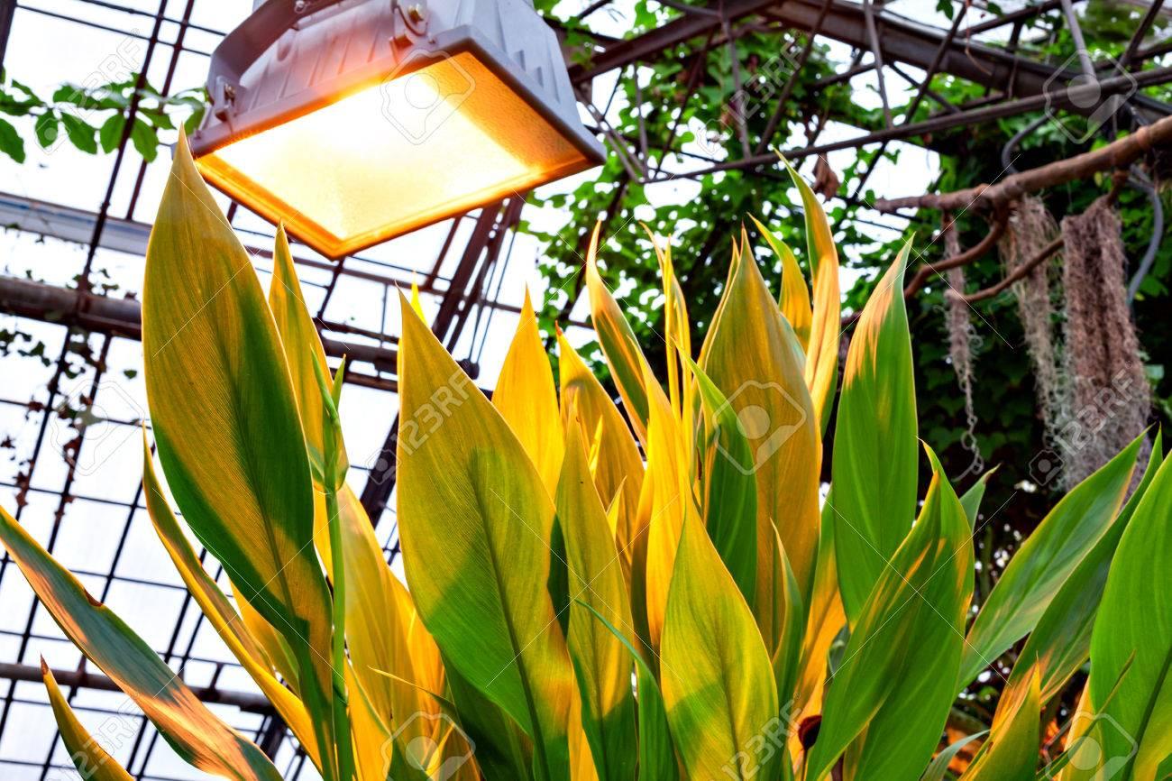 Exuberante Verde Hojas Tropicales Canna Indica Planta De Henna Deja