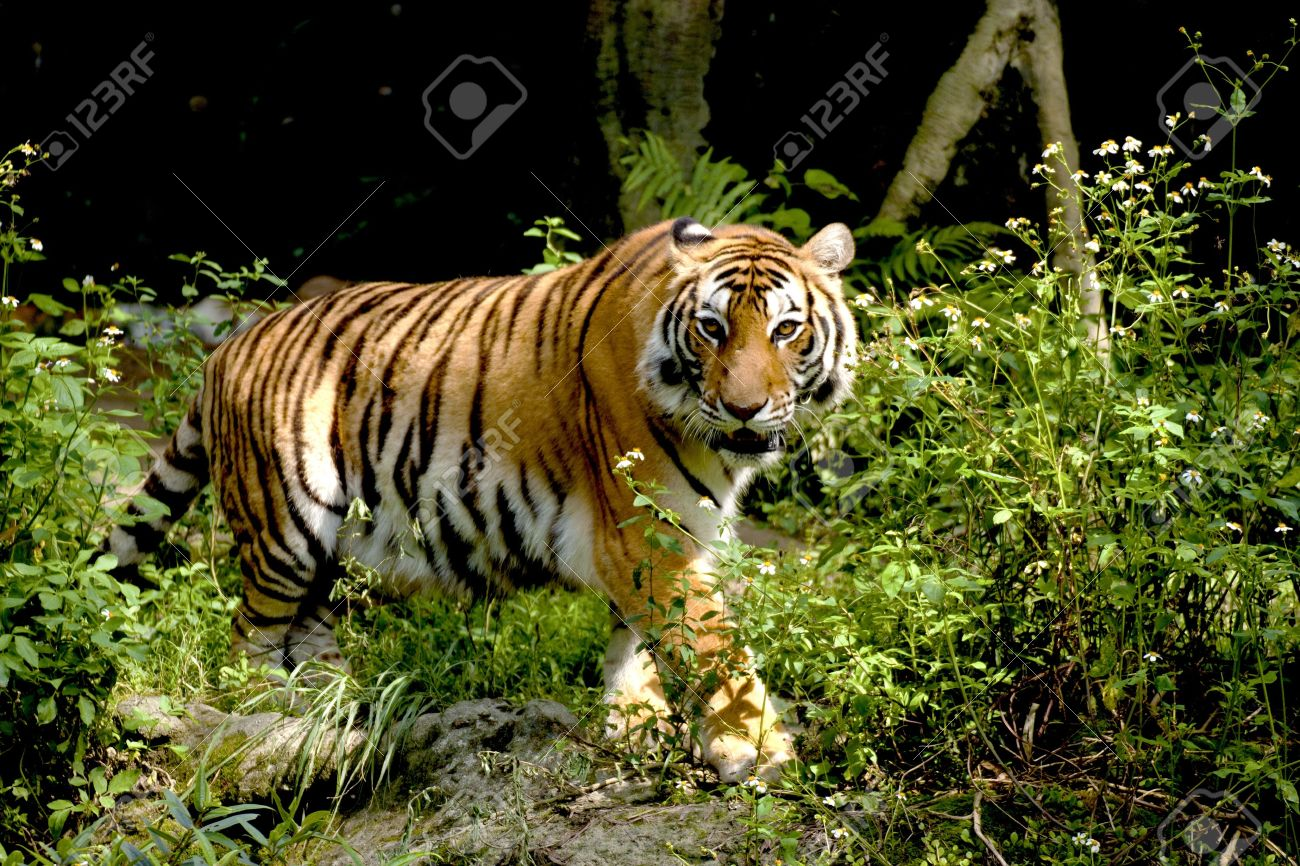 Bengal tiger looking around in forest Stock Photo - 9595240