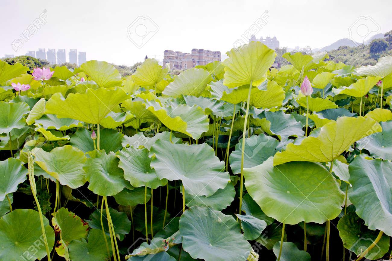 lotus farm spread in summer Stock Photo - 9751100