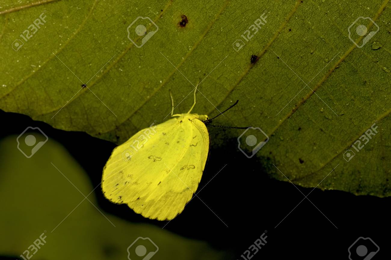 A Yellow Butterfly Sleep On A Leaf At Night Stock Photo Picture And