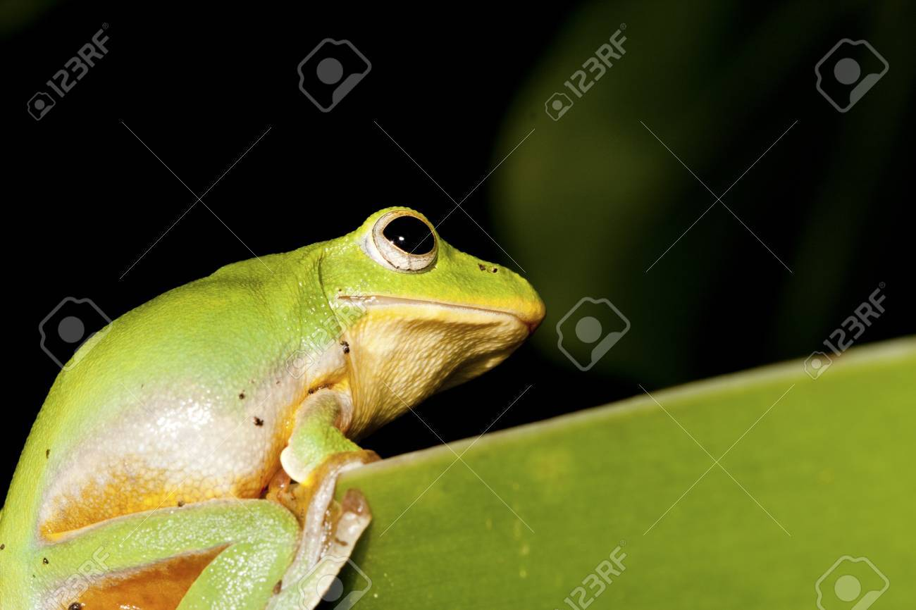 Cute And Colorful Taipei Tree Frog Peeking Over Branch In Forest ...