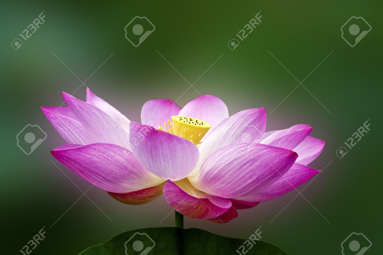 Lotus Blossoms Or Water Lily Flowers Blooming On Pond Stock Photo