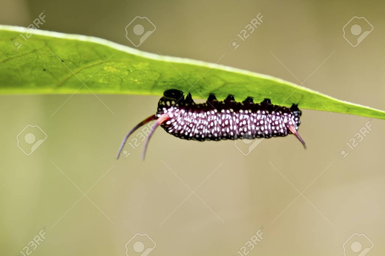 macro shot of butterfly larva on leaf in summer Stock Photo - 15367565