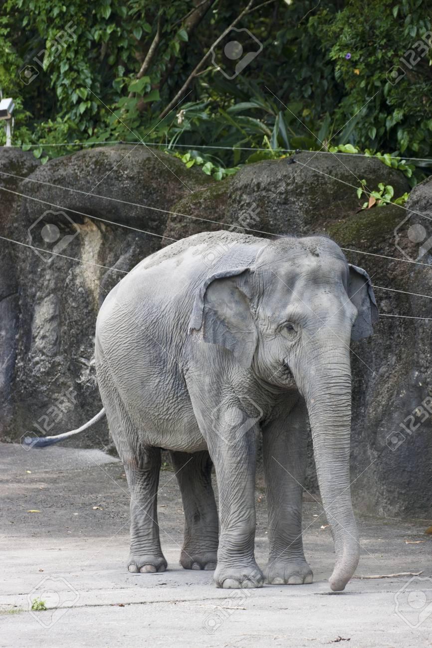 asian elephant display in Taipei zoo,Elephas maximus Stock Photo - 17020211
