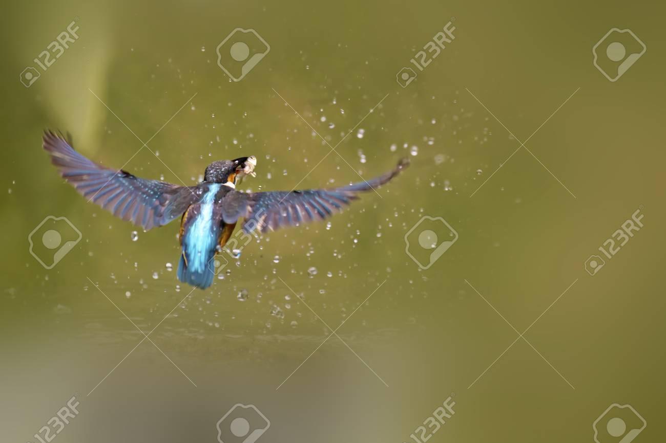 common kingfishercatch fish in flight in natural habitat,Alcedo atthis Stock Photo - 17633054