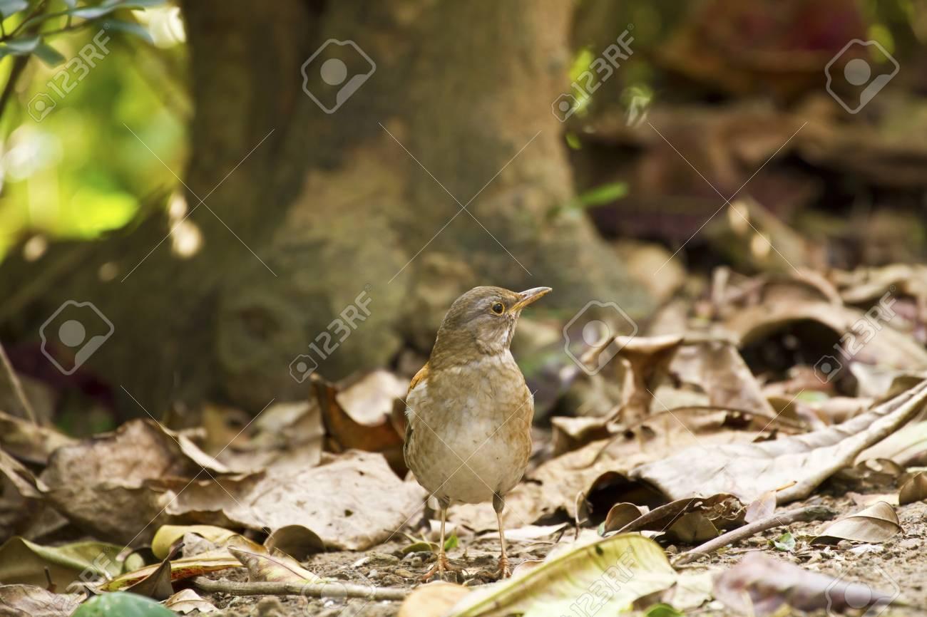 Pale Thrush in natural habitat,Turdus pallidus Stock Photo - 17633695