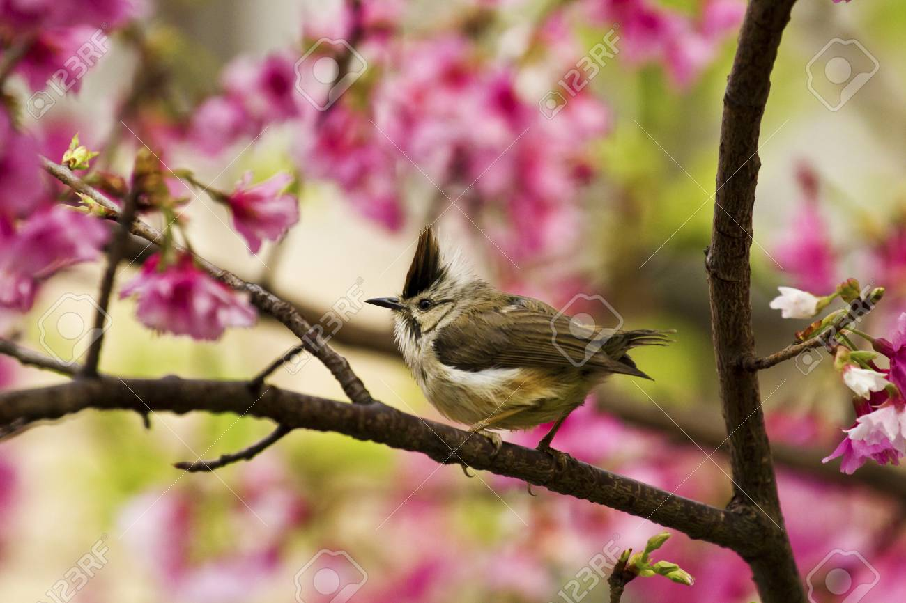 Taiwan Yuhina attract honey of pink cherry blossoms tree in forest ,Yuhina brunneiceps Stock Photo - 18044085