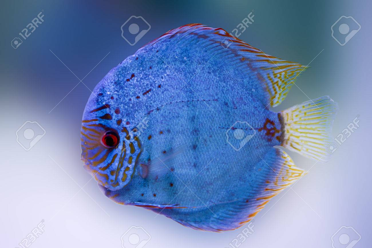 Freshwater fish amazon - Spotted Blue Discus Freshwater Fish Native To The Amazon River Stock Photo 24365215