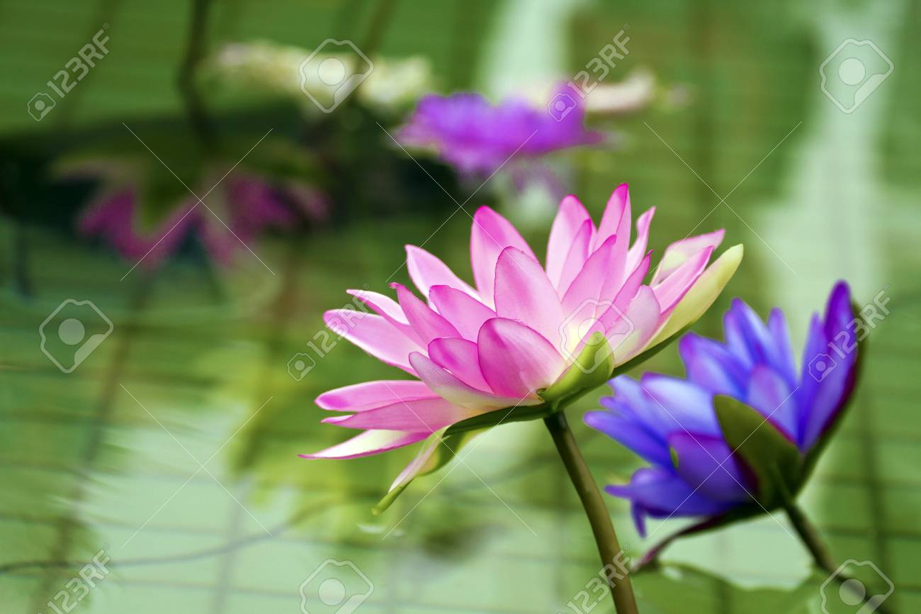 Plastic Colorful Decoration Lotus In Pond In Shilin Official Stock