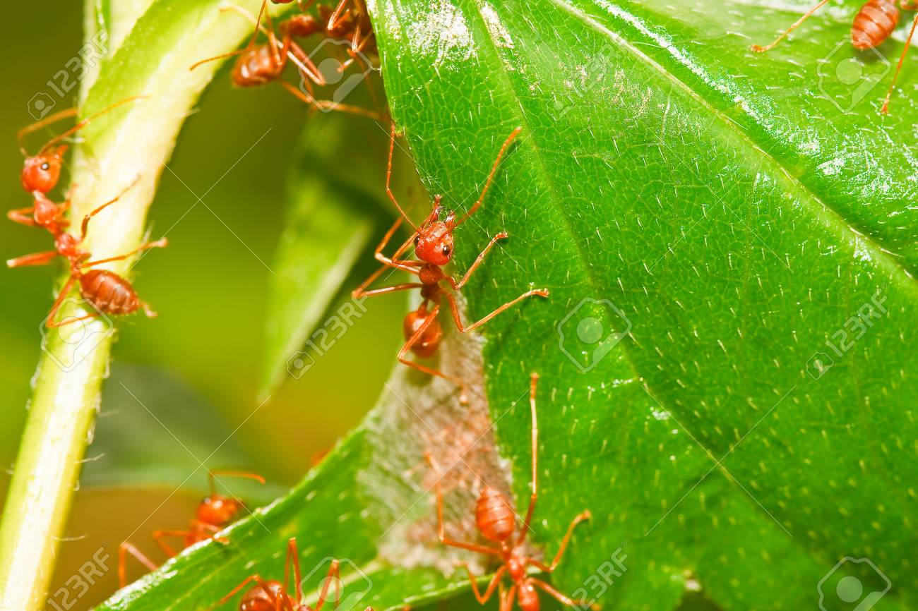 Red ant Stock Photo - 10265412