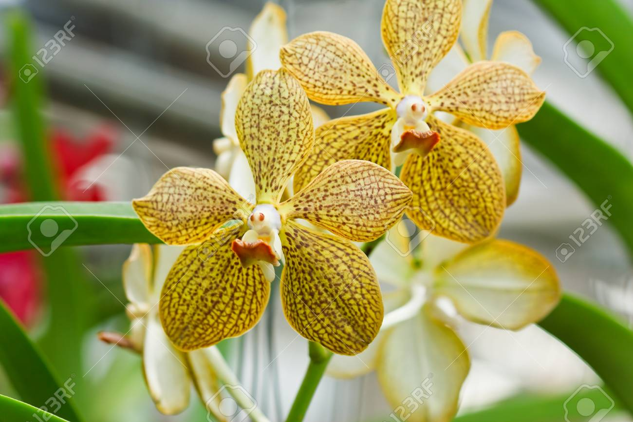 Thai orchid Stock Photo - 10285798