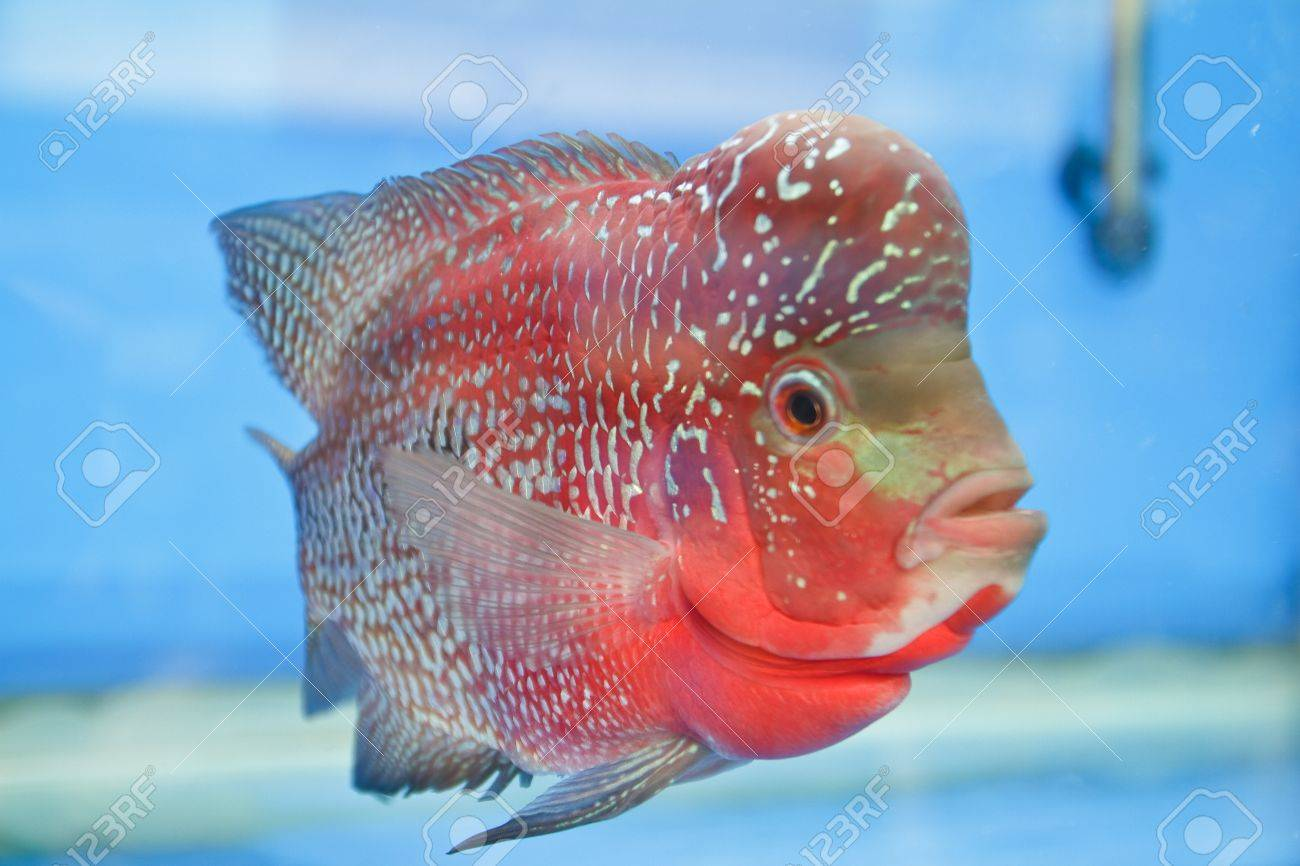 Flowerhorn Cichlid fish in the aquarium