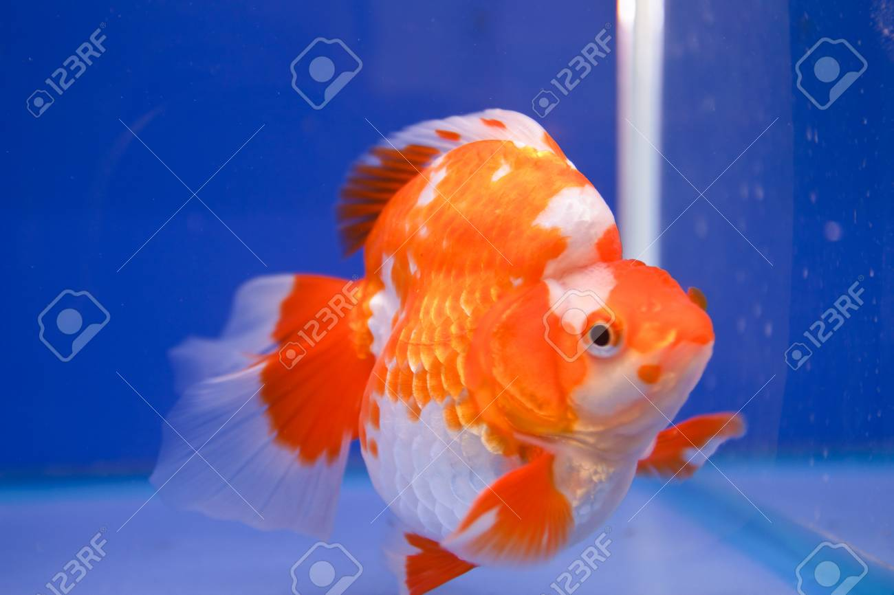 Goldfish in the aquarium Stock Photo - 15501171