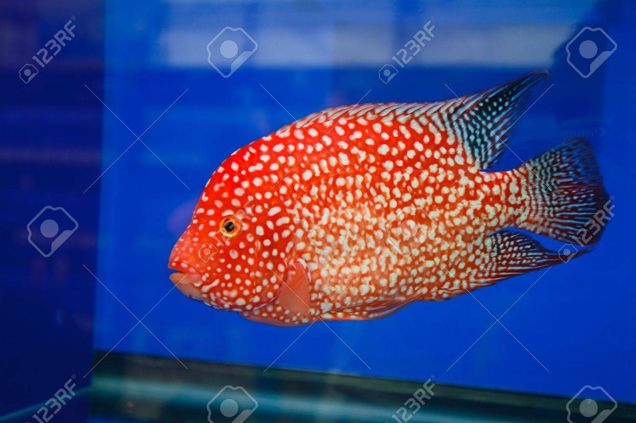 Flowerhorn Cichlid Fish In The Aquarium Stock Photo, Picture And ...