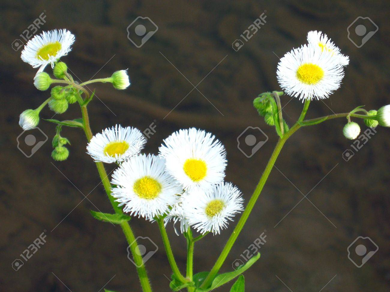 Small Daisy Like Yellow And White Flowers With A Dark Background