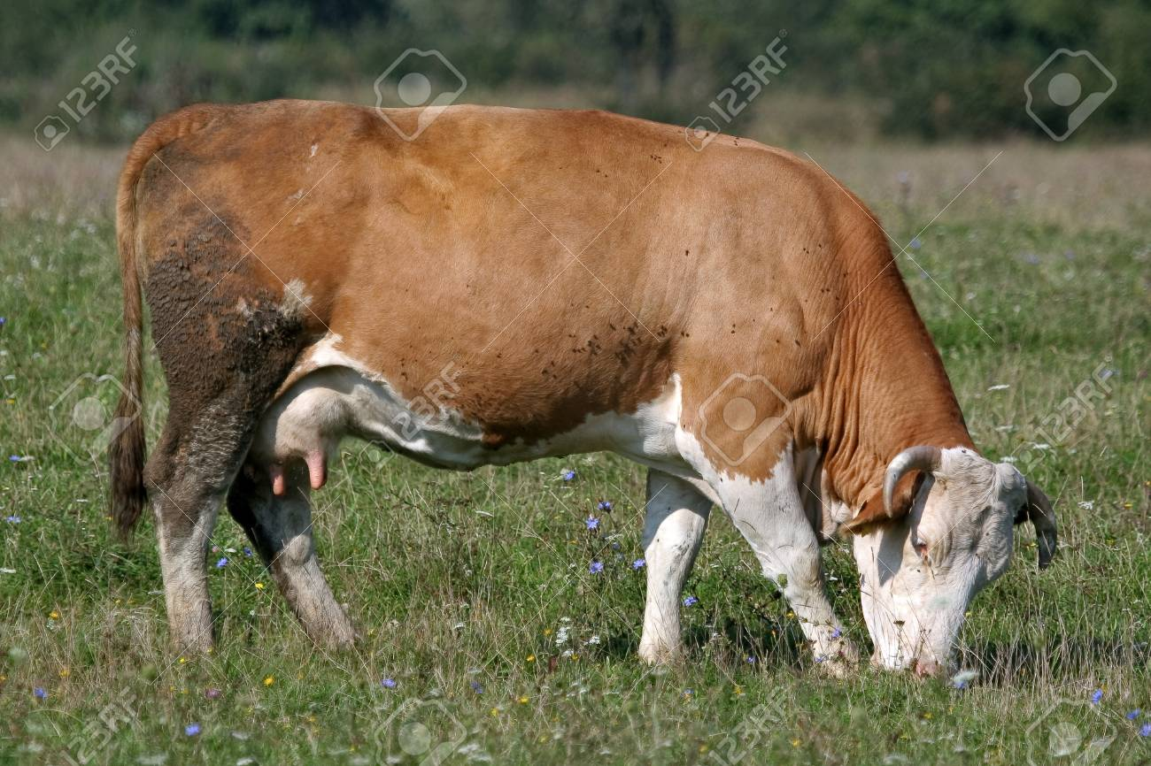 Brown white cow with white head,on pasture eats grass. Stock Photo - 11030704