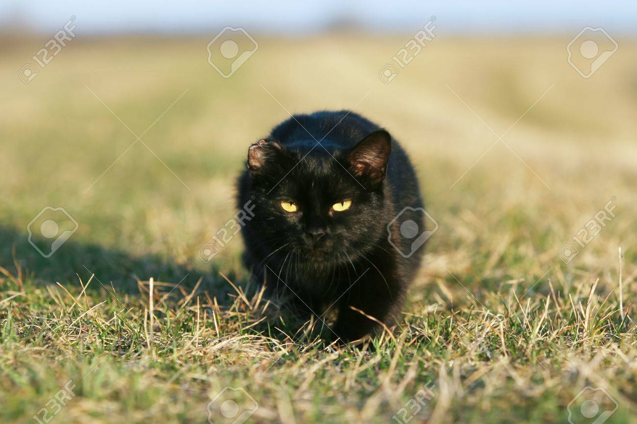 One eared black cat on the meadow is sneaking for a pray Stock Photo - 11813041