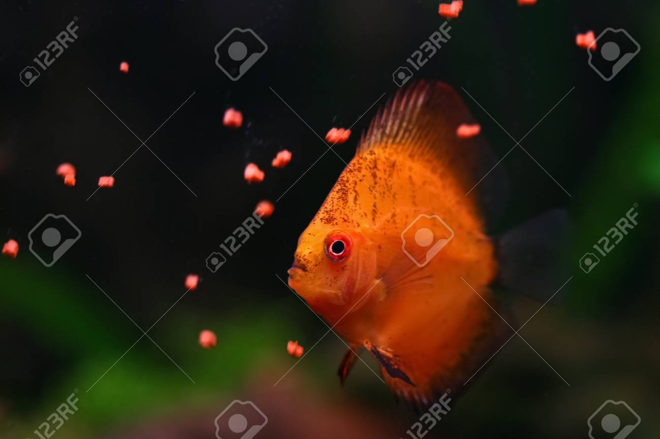 Orange discus fish swims and feeds in aquarium Stock Photo - 12611290