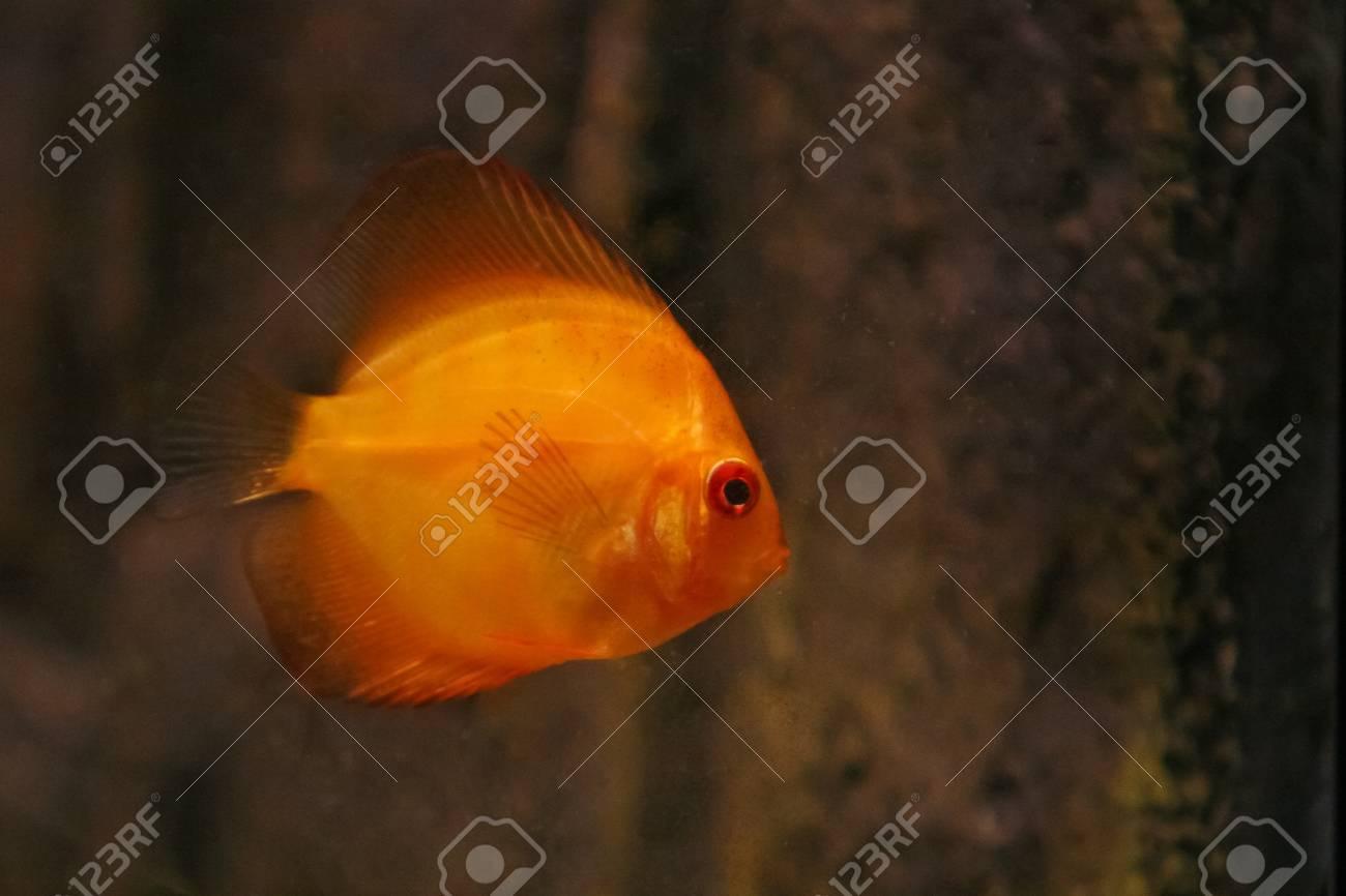 Orange discus fish swiming in aquarium Stock Photo - 12611325